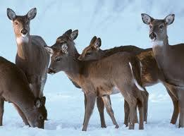 valkohäntäpeura metsästys