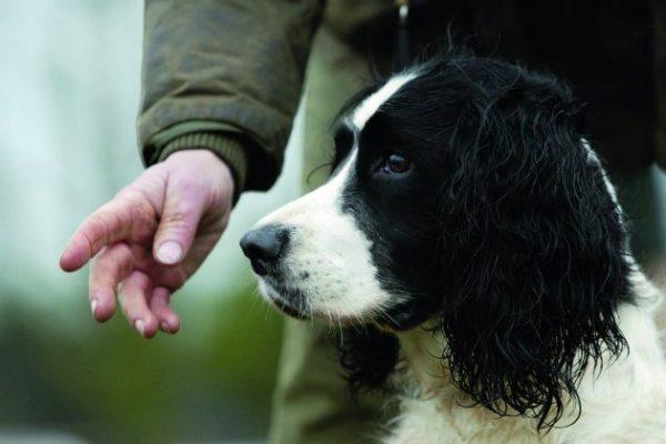 Field spaniel gundog with trainer