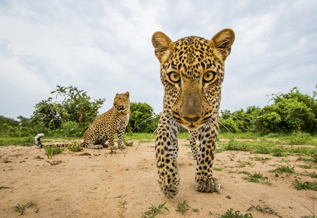 Will Burrard-Lucas leopards