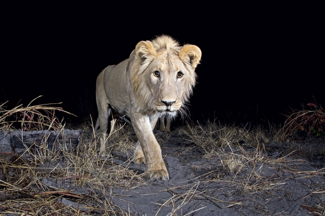 Will Burrard-Lucas lion
