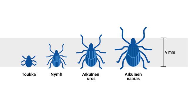 Puutiaisella on kolme kehitysvaihetta. Jokaisessa vaiheessa se tarvitsee veriaterian. Verta imemätön punkki on pieni, nymfi saattaa olla vain millimetrin suuruinen.