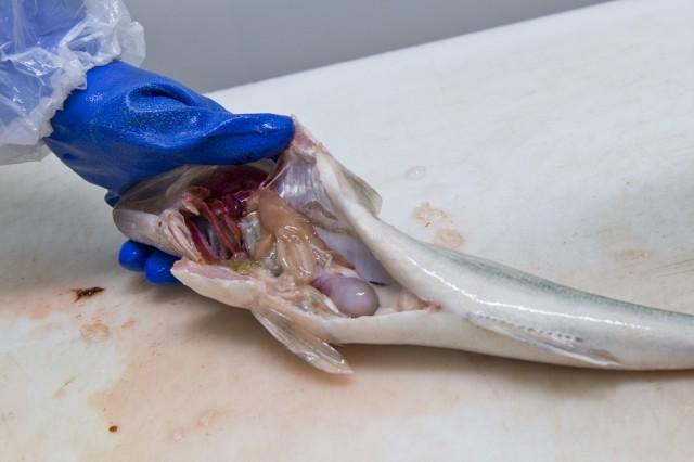 3. Avattuna kalan vatsa näyttää tältä.