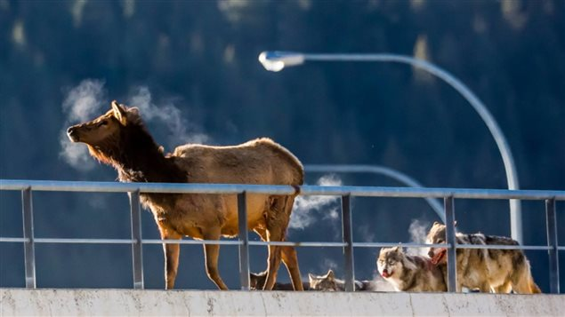 Feb 2016. The Banff wolf pack corners an elk on a railway overpass within the park. The railway through the park has often proven deadly for bears and wolves, including members of this pack.