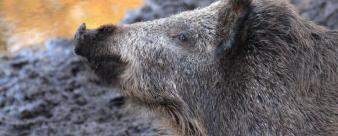 boar-614729