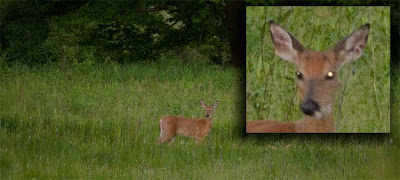 Tapetum lucidum creating a noticeable reflection in the deer's right eye.