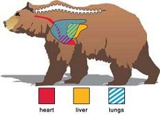 Bear vital point
