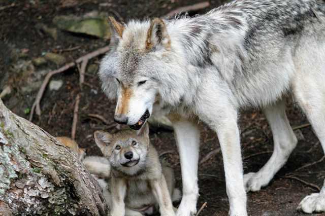 Der  EuGH hat sich zum finnischen Wolfsmanagement geäußert. Generell ist eine Wolfsjagd nicht unmöglich, wenn sie strenge Auflagen erfüllt.