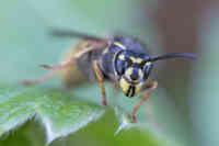 Piha-ampiaisen naama